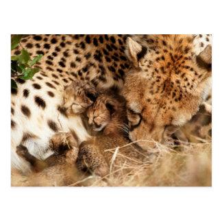 Cheetah (Acinonyx Jubatus) Grooming One-Day Old Post Cards