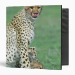 Cheetah Acinonyx jubatus) Grown cubs eating Vinyl Binders