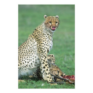 Cheetah Acinonyx jubatus) Grown cubs eating Photo