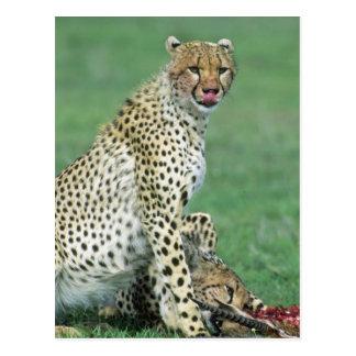 Cheetah Acinonyx jubatus) Grown cubs eating Postcard