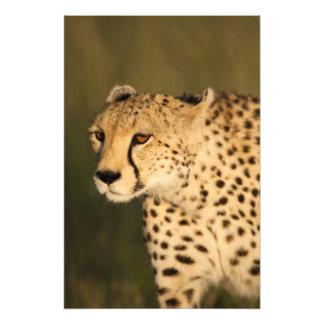Cheetah, Acinonyx jubatus, in the Masai Mara 2 Photo Print