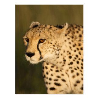 Cheetah, Acinonyx jubatus, in the Masai Mara 2 Postcards