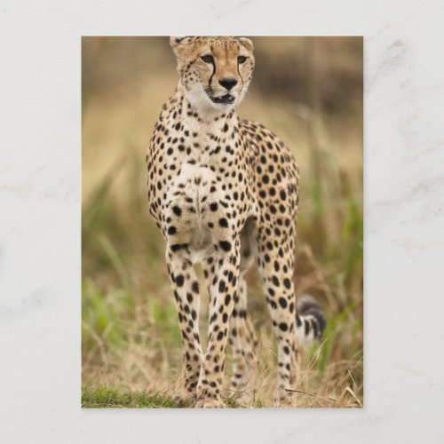 Cheetah Acinonyx jubatus in the Masai Mara Postcard