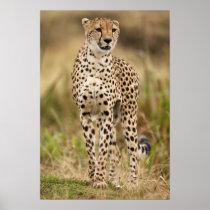 Cheetah, Acinonyx jubatus, in the Masai Mara Poster