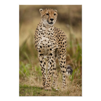Cheetah, Acinonyx jubatus, in the Masai Mara Poster