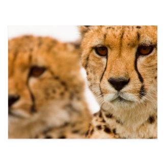 Cheetah (Acinonyx Jubatus) Mother And Cub Post Cards