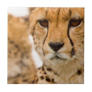 Cheetah (Acinonyx Jubatus) Mother And Cub Tile