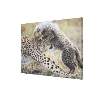 Cheetah (Acinonyx jubatus) mother playing with Canvas Print