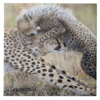 Cheetah (Acinonyx jubatus) mother playing with Ceramic Tile