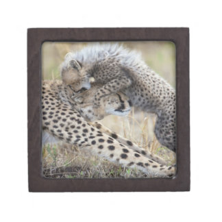 Cheetah (Acinonyx jubatus) mother playing with Jewelry Box