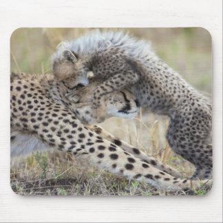 Cheetah (Acinonyx jubatus) mother playing with Mouse Pads