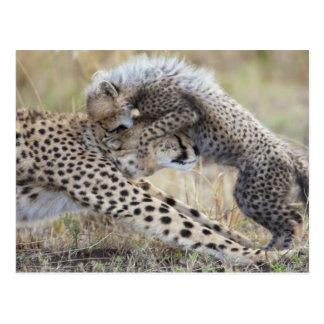 Cheetah (Acinonyx jubatus) mother playing with Postcards