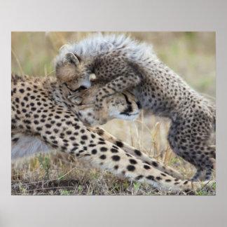 Cheetah (Acinonyx jubatus) mother playing with Poster