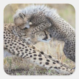 Cheetah (Acinonyx jubatus) mother playing with Square Sticker
