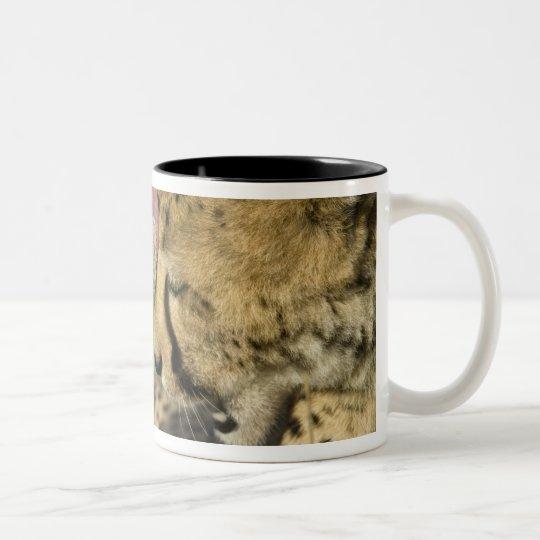 Cheetah, Acinonyx jubatus, mutual grooming in Two-Tone Coffee Mug