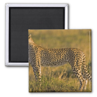 Cheetah Acinonyx jubatus) on plain, Masai Magnet
