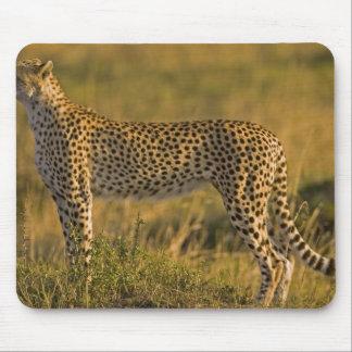 Cheetah Acinonyx jubatus) on plain, Masai Mouse Pad