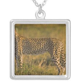 Cheetah Acinonyx jubatus) on plain, Masai Necklaces