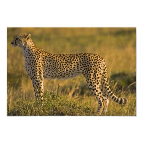Cheetah Acinonyx jubatus on plain Masai Photo Print