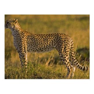 Cheetah Acinonyx jubatus) on plain, Masai Postcards