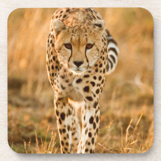 Cheetah (Acinonyx Jubatus) Portrait, Maasai Coaster