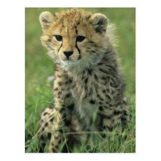 Cheetah, (Acinonyx jubatus), Tanzania, Serengeti Postcard