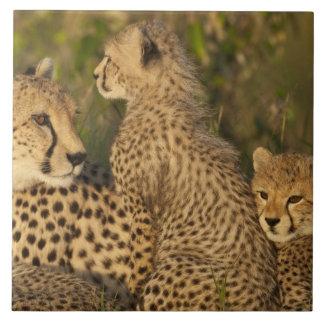Cheetah, Acinonyx jubatus, Upper Mara, Masai Tile