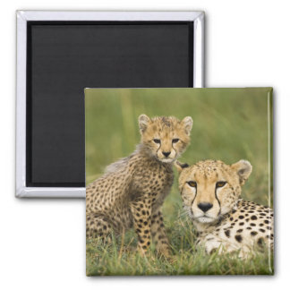 Cheetah, Acinonyx jubatus, with cub in the 2 Inch Square Magnet