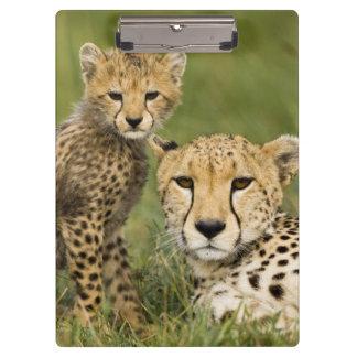 Cheetah, Acinonyx jubatus, with cub in the Clipboard