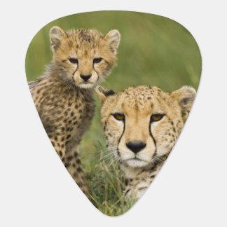Cheetah, Acinonyx jubatus, with cub in the Guitar Pick