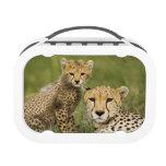 Cheetah, Acinonyx jubatus, with cub in the Lunch Box