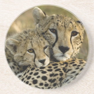 Cheetah, Acinonyx jubatus, with cub in the Masai 2 Coaster