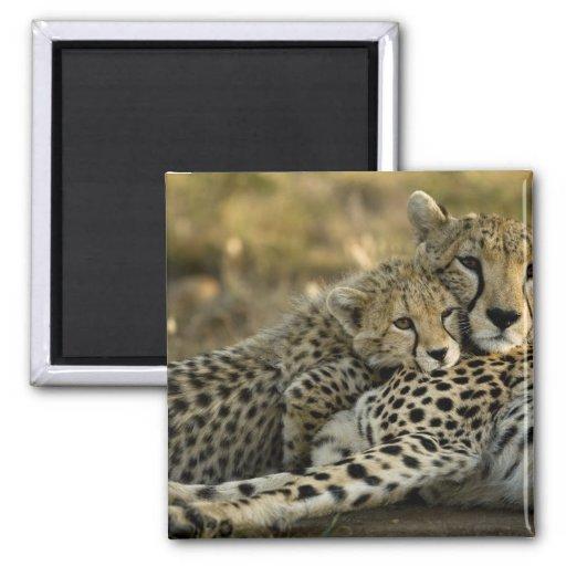 Cheetah, Acinonyx jubatus, with cub in the Masai 2 Fridge Magnets