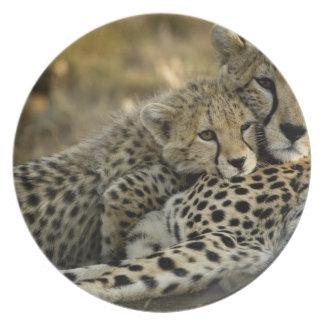 Cheetah, Acinonyx jubatus, with cub in the Masai 2 Plate