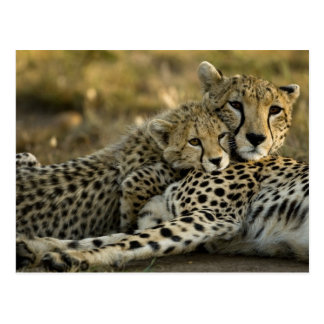 Cheetah, Acinonyx jubatus, with cub in the Masai 2 Postcard