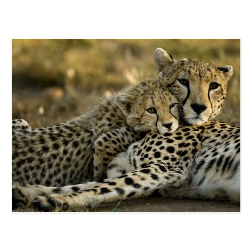 Cheetah, Acinonyx jubatus, with cub in the Masai 2 Postcard