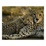 Cheetah, Acinonyx jubatus, with cub in the Masai 2 Poster