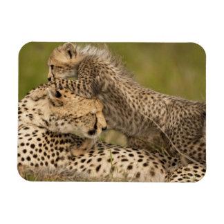 Cheetah, Acinonyx jubatus, with cub in the Masai 3 Magnet