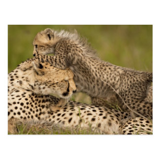 Cheetah, Acinonyx jubatus, with cub in the Masai 3 Postcard