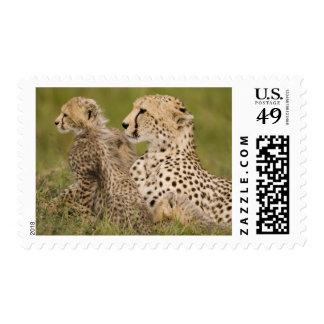 Cheetah, Acinonyx jubatus, with cub in the Masai Postage
