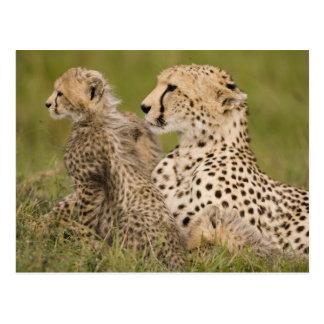 Cheetah, Acinonyx jubatus, with cub in the Masai Postcard