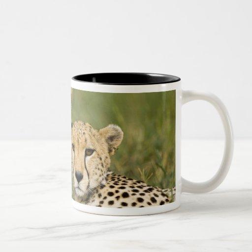 Cheetah, Acinonyx jubatus, with cub in the Mug