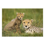 Cheetah, Acinonyx jubatus, with cub in the Photo Print