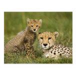 Cheetah, Acinonyx jubatus, with cub in the Postcard