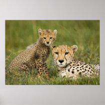 Cheetah, Acinonyx jubatus, with cub in the Poster