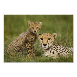 Cheetah, Acinonyx jubatus, with cub in the Poster