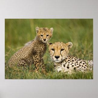 Cheetah Acinonyx jubatus with cub in the Poster