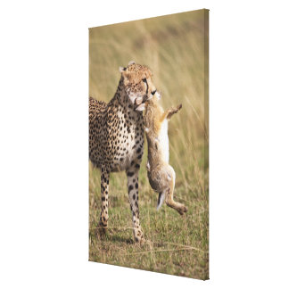 Cheetah (Acinonyx jubatus) with jackrabbit kill, Canvas Print