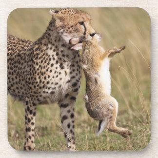 Cheetah (Acinonyx jubatus) with jackrabbit kill, Drink Coaster