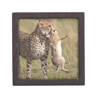 Cheetah (Acinonyx jubatus) with jackrabbit kill, Gift Box
